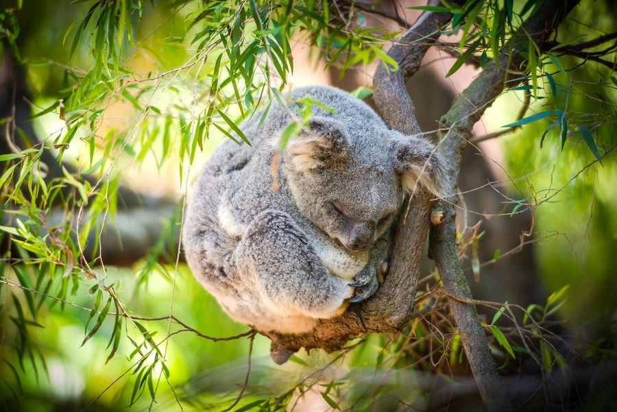 5. Sleeping Koala by Eaton Zhou