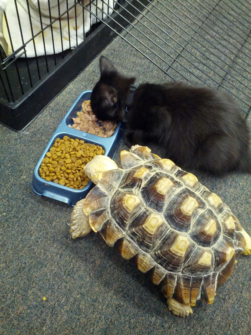 funny animal pictures, kitten and turtle eat together