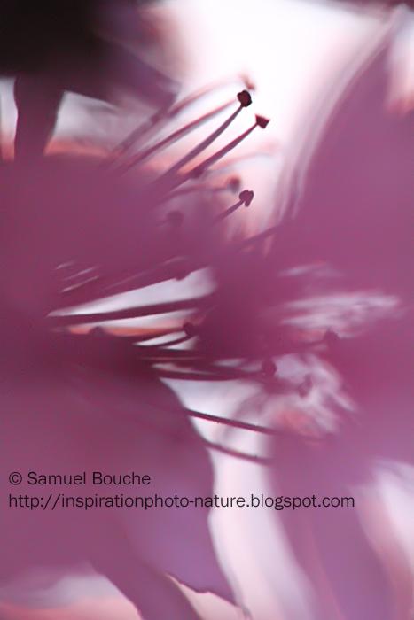 macro arbre en fleur rose prunus printemps