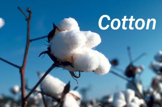 cotton is an important...