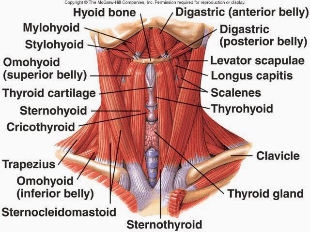 the many muscles of the neck (scm is the v-shaped muscles,