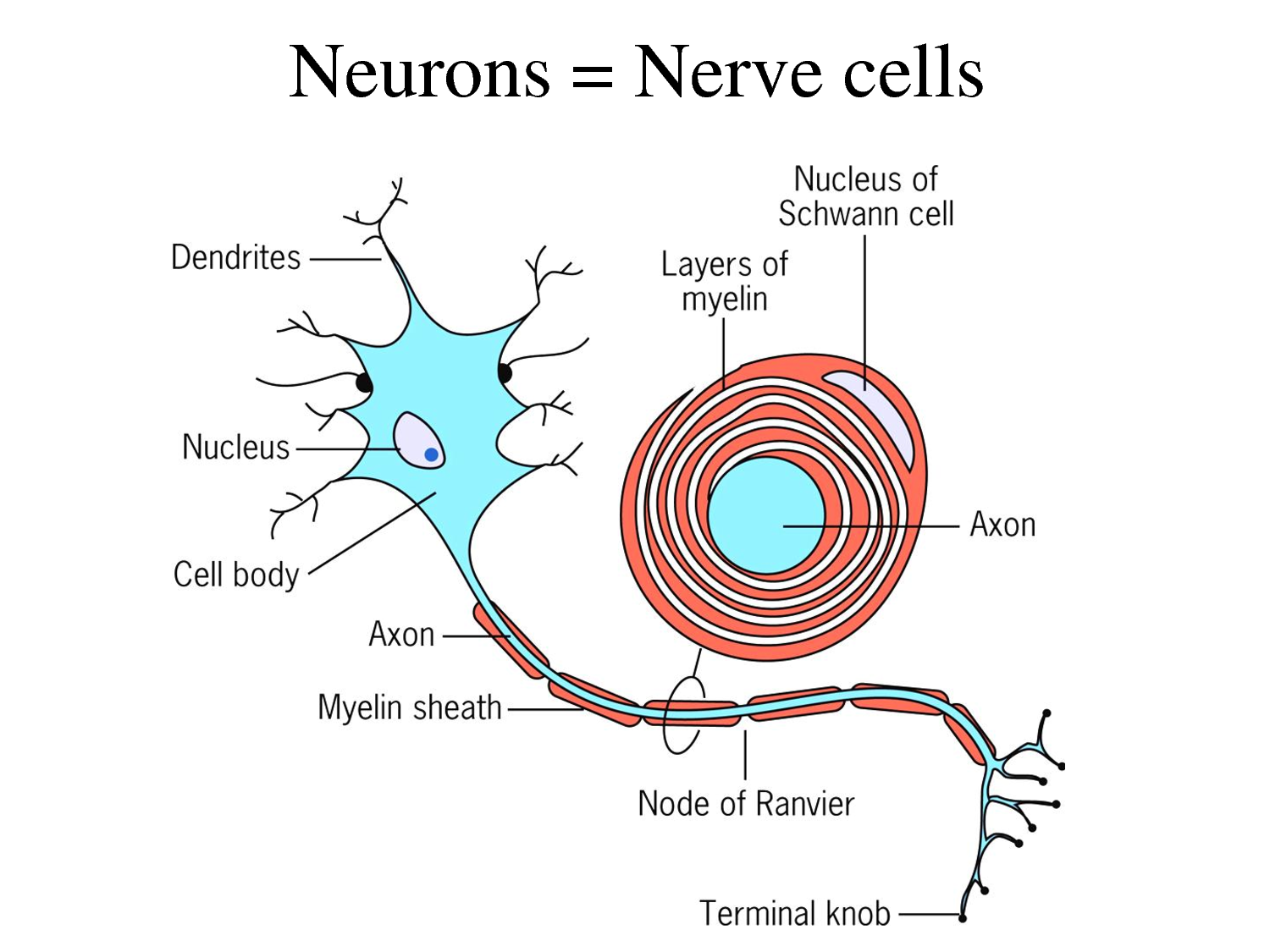 checking the nerve cell image next to the title may help you understand some of the terminology