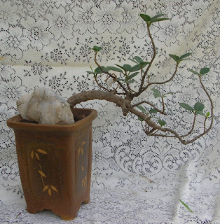 cascading ficus bonsai