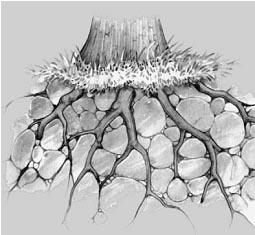 Pemecahan batuan oleh akar tanaman yang terjadi di dalam tanah