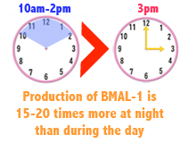 Production of BMAL-1 is 15-20 times greater at night than during the day.