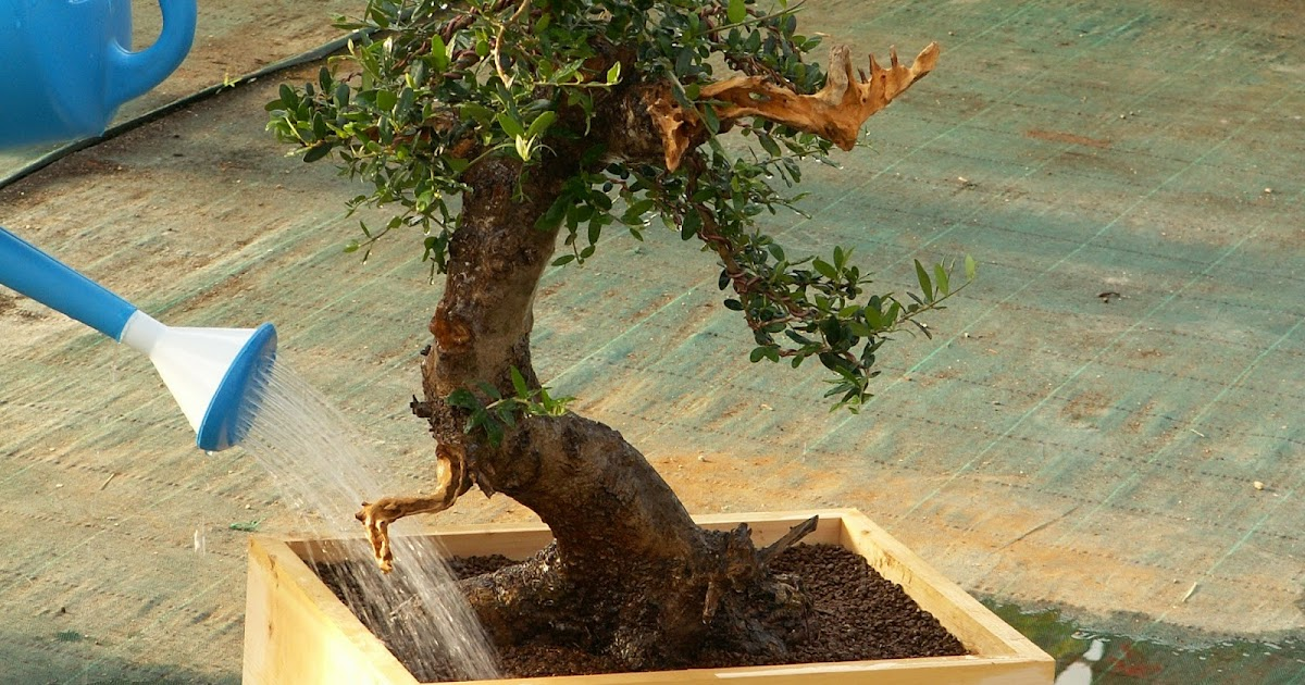 Cartagena bonsai equilibrio generativo vegetativo en el cultivo del bonsai - Cultivo del bonsai ...