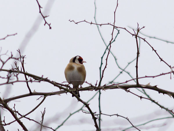 Goldfinch, Carduelis carduelis.  Jubilee Country Park, 23 February 2013.