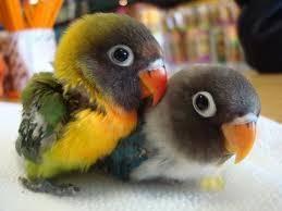 Ciri Anakan Lovebird Berkualitas Unggul