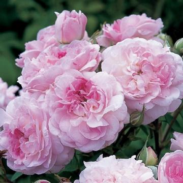fleurs qui ressemblent aux roses. Black Bedroom Furniture Sets. Home Design Ideas