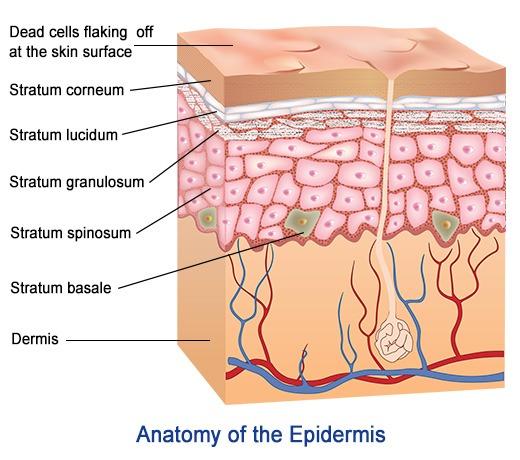 stratum mucosum
