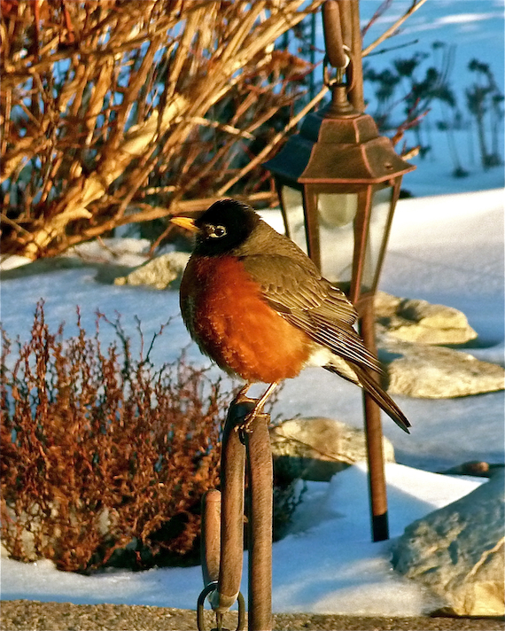 a plump robin who is a candidate for the biggest looser weight program