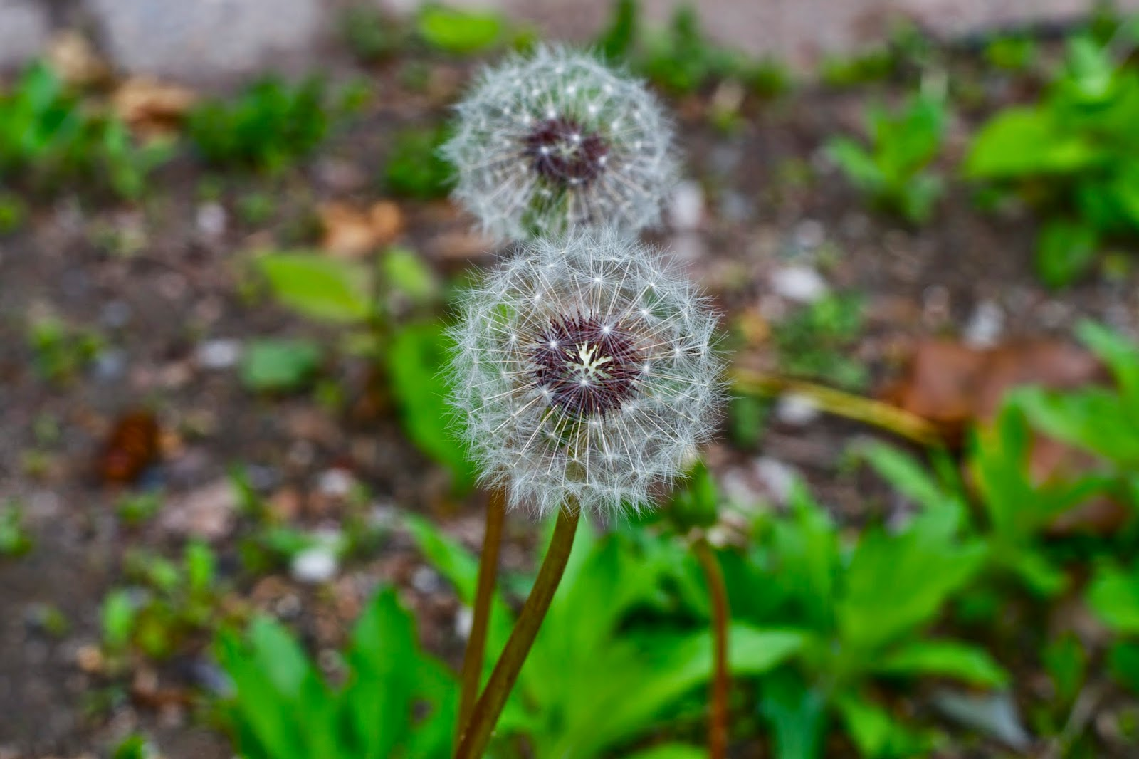 Dandelions gone to seed... Make a wish and set it free!
