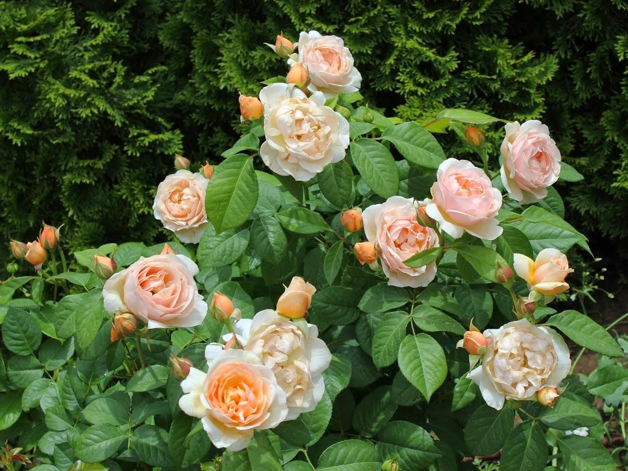 juliet_roses
