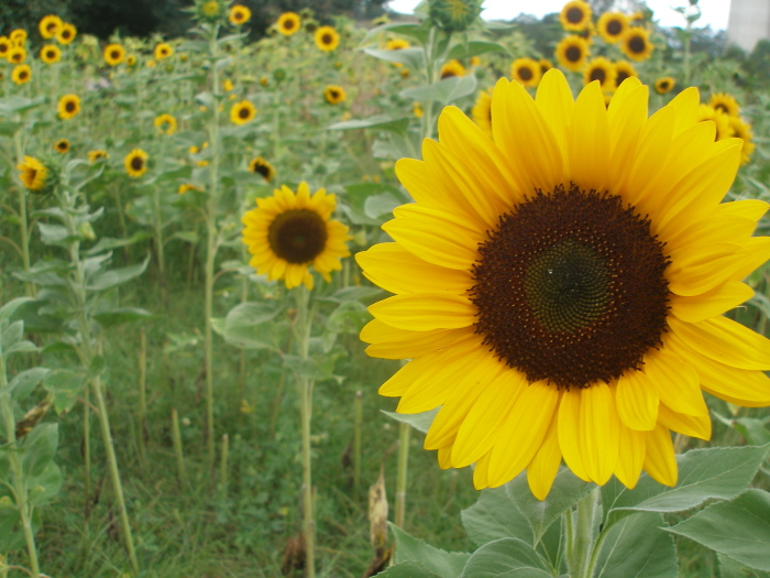 Thy Hand Hath Provided How To Plant Grow Cut Sunflowers To Sell