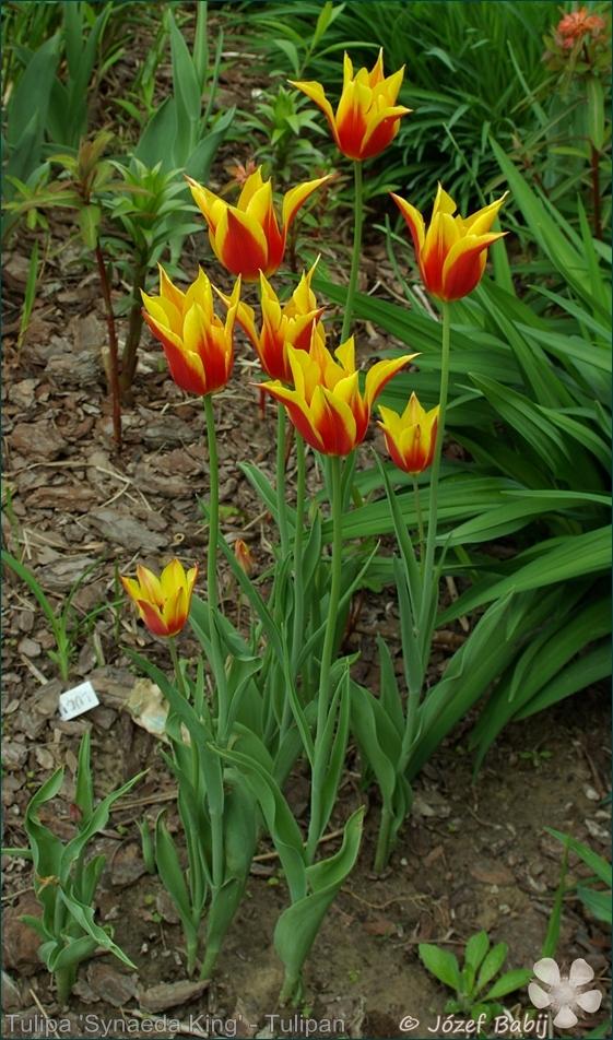 Tulipa 'Synaeda King' - Tulipan liliokształtny