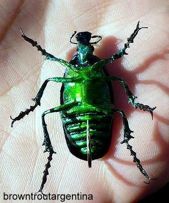 Escarabajo Ala oreja dobladillo Cobre Verde Tonos De Latón
