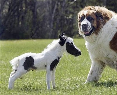the smallest in the world horse  The Biggest Dog In