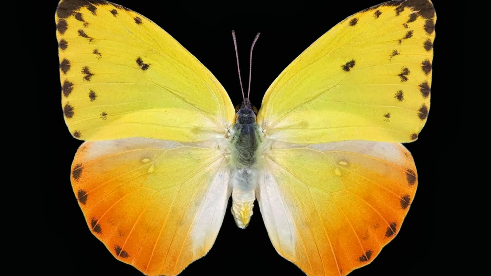 butterfly hq wallpaper 1024x768 - photo #18
