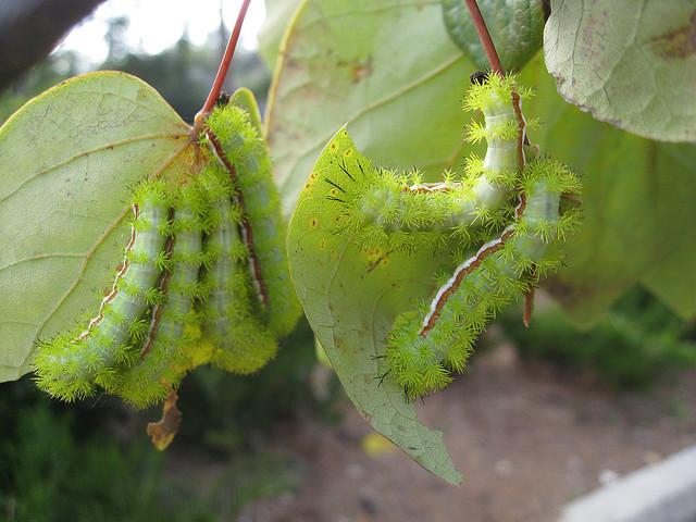 gusanos