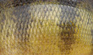 Yellow Perch Skin