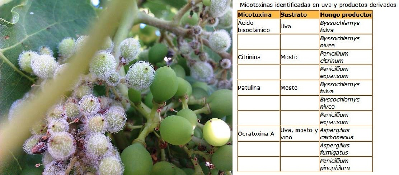 Resultado de imagen para uva contaminada de micotoxinas