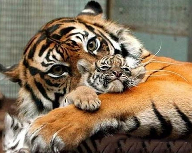 Baby tigers face - photo#20
