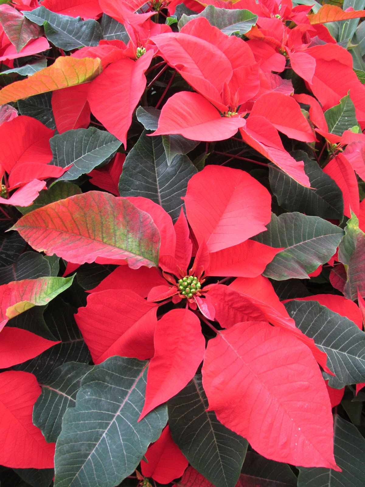 or red poinsettia - photo #8