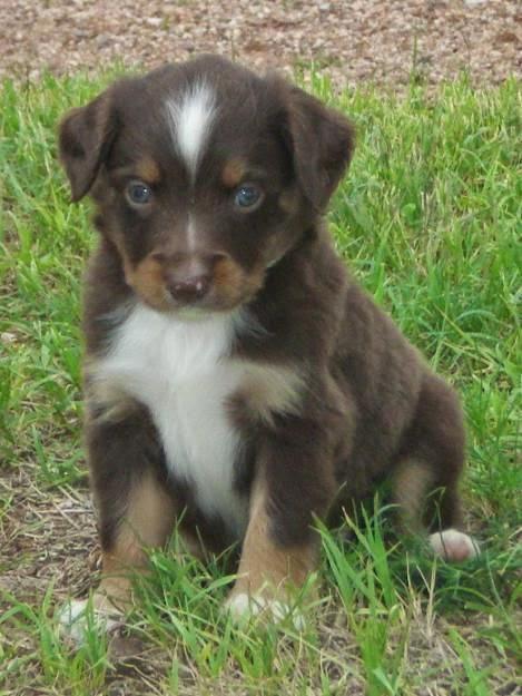 See more mini Australian shepherd http://cutepuppyanddog.blogspot.com/