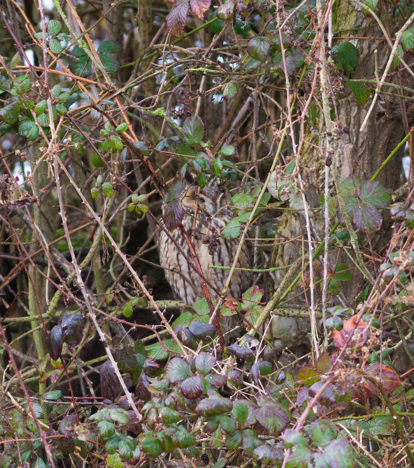 Long-eared Owl, Burton Mere