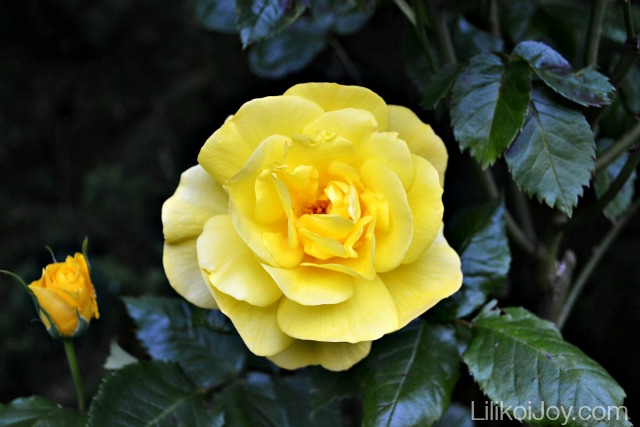 Summer Garden Tour: Yellow Rose