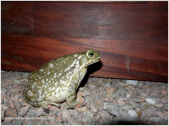 En la noche los sapos salen a cazar insectos - Chacra Educativa Santa Lucía