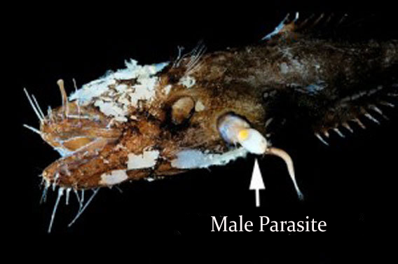 science at your home male angler fish a parasite