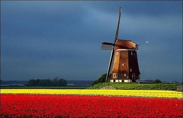 06 شهر مايو في هولندا  موسم حصاد زهور التوليب  جنة على الأرض