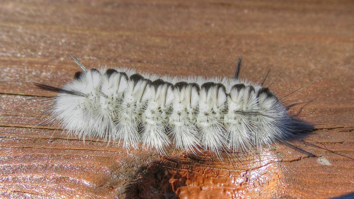 Banded Tussock Moth Caterpillar  - White Variety