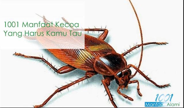 Manfaat dan Kegunaan Serangga Kecoa