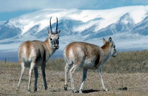 Tibetan Chiru antelope