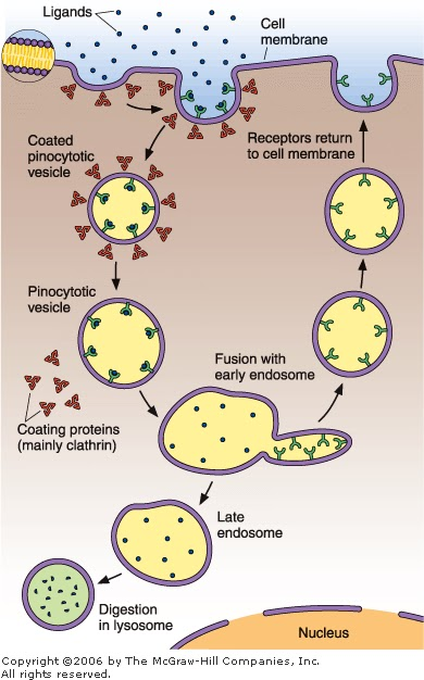 Compare And Contrast Endocytosis And Excocytosis Enotes