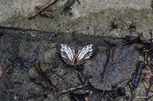 雞南山散步,石牆蝶