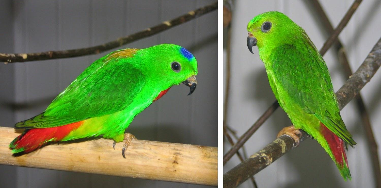 Foto Burung Srindit Kalimantan Terbaik