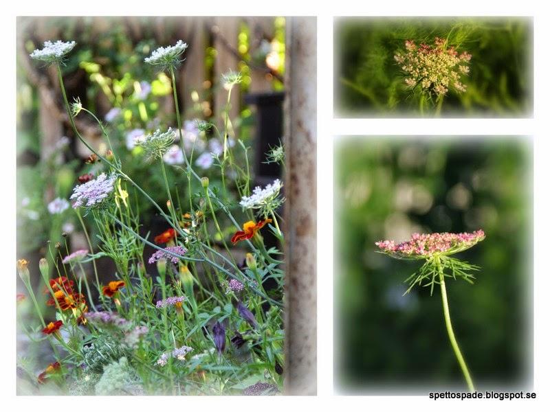 Blomstermorot Dacus carota 'Dara'