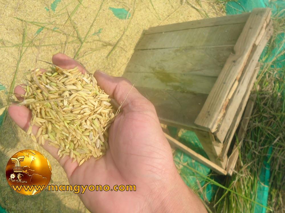 Petani Subang Menantang Pemerintah Untuk Membeli Padi Petani
