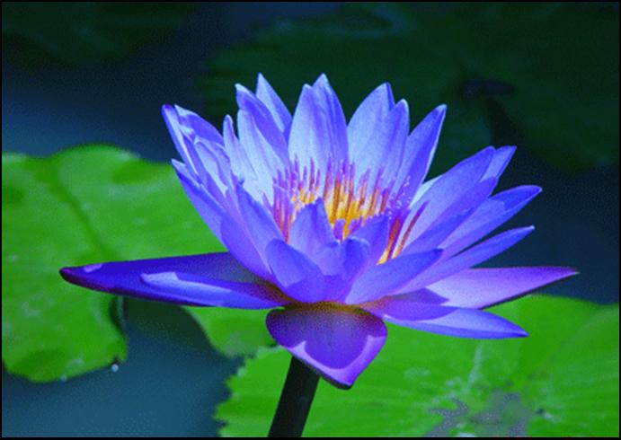 blue-lotus picture