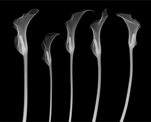 fotografia,rayos x,photographs,x rays,nick Veasey,black,white,interior,flor,flower,cala