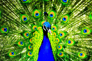 Peacock HD Wallpaper