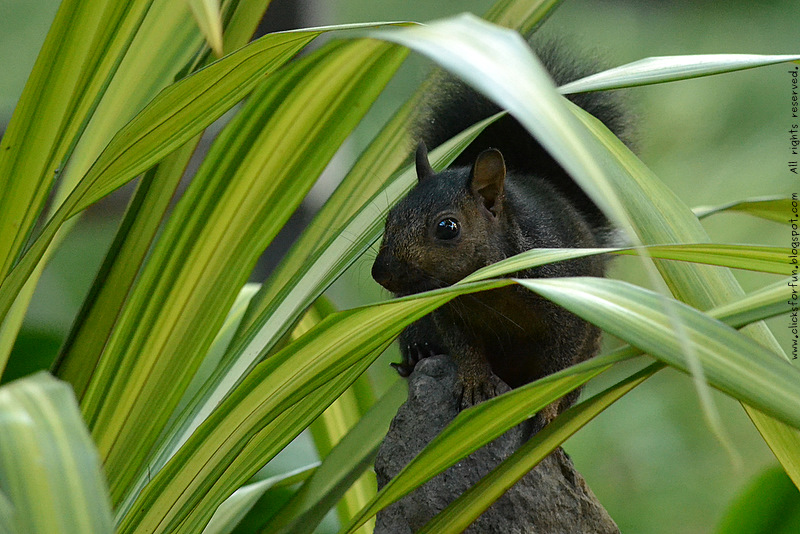 Common Black Squirrel Home Garden Photos Photography Blogger Nature