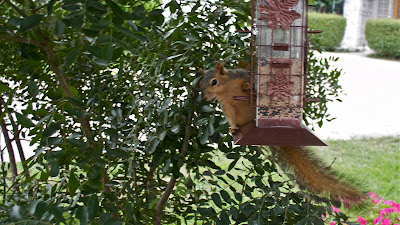 Suirrel on the bird feeder