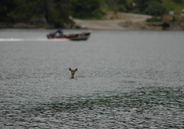 Surfing Deer