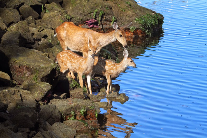 low tide, deer family, black tailed deer