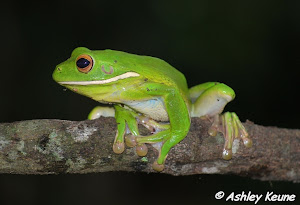 White-lipped Tree Frog