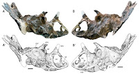 http://sciencythoughts.blogspot.co.uk/2015/06/regaliceratops-peterhewsi-new-species.html